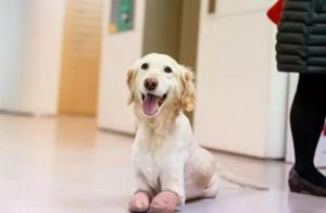 被截掉四肢的狗,用微笑治愈了别人!